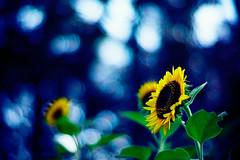 save my soul (moaan) Tags: life leica autumn flower digital 50mm flora october dof time bokeh joy f10 sunflower m8 noctilux behind left 2008 unforgettable holdon leftbehind outoftime holdout explored inlife leicam8 fullofjoy leicanoctilux50mmf10 bokehwhores sunflowerofoctober gettyimagesjapanq1 gettyimagesjapanq2