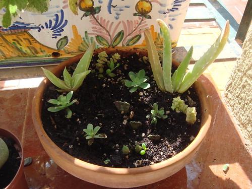 Mis plantas y sus flores 2955836834_0d47866a5f