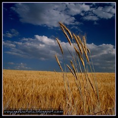 Golden Fields on the Way to Gordium City of King Midas (voyageAnatolia.blogspot.com) Tags: trip travel blue summer sky white colors clouds turkey landscape photography photo day earth miracle wheat trkiye turkiye touch grain cereal harvest turquie trkei crop cumulus ear fields spike ankara spikes turquia earthday midas turqua tyrkiet turchia  tarla polatl   polatli turska  mywinners gordion fotogezi gordium   voyageanatolia sansogmgmofreewheatworld