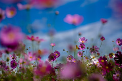 (rosemary*) Tags: pink flower topf25 500v20f 5d 2008 cosmos tamron90