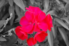 florcoloreada (AlbertoAraque) Tags: photoshop zaragoza xataca