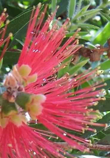 Bottlebrush close-up