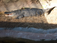 Alligator in Audubon Zoo