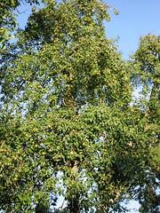 154-5438_IMG (www.fotoNU.dk) Tags: natur grnt frugt fotonu
