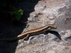 Lizard (jane.garratt) Tags: animal garden chinatown sydney australia lizard nsw chinesegardenoffriendship natureycrap