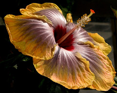 Fifth Dimension Hibiscus (Kurlylox1) Tags: red flower yellow golden petals angle details stamens hibiscus greenhouse bloom glowing palmhouse anthers rosasinensis potofgold fifthdimension usbotanicalgarden 5thdimension stigmas bej fantasticflower awesomeblossoms cffaa jungleenvironment