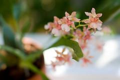 twinkle 2 (embem30) Tags: flowers orchids twinkle