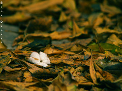 ((SD)) Tags: tree fall yellow yard garden jasmine sd once  sina danesh nicesmell          justone     s3is    sinadanesh