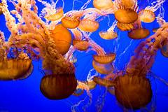 Jellies In Motion (julesnene) Tags: ocean california sea nature canon eos aquarium monterey montereybayaquarium montereybay nettle seanettle 50d chrysaorafuscescens canoneos50d funtravel juliasumangil julesene