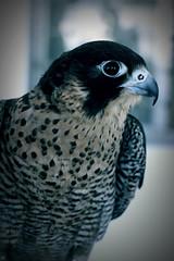 (Weda3eah*) Tags: cute face dangerous falcon p lovely xd qatar shaheen 7abeeb weda3eah 2llbi