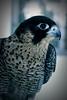 (ًWeda3eah*) Tags: cute face dangerous falcon p lovely xd qatar shaheen 7abeeb weda3eah 2llbi