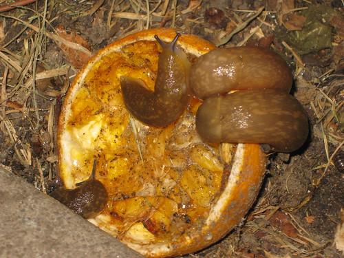 garden slug control
