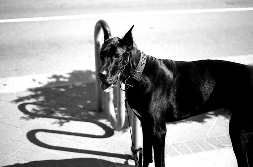 The Black Dog. (Kodak Plus-X 125. Nikon F100. Epson V500.)