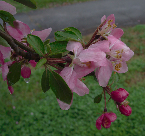 Crabapple Blossoms, March 25, 2009