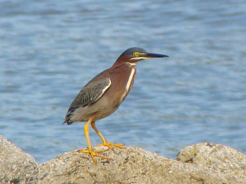 green heron rising