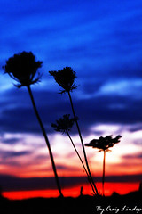 sunset flowers (craiggy13x) Tags: blue sunset red sky plants sun white plant black flower canon craig outline silhoette lidop 40d penketh sunsetflower canon40d craiglindop