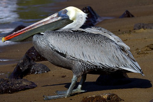 Brown Pelican (Pelecanus occidentalis) Study: Profile