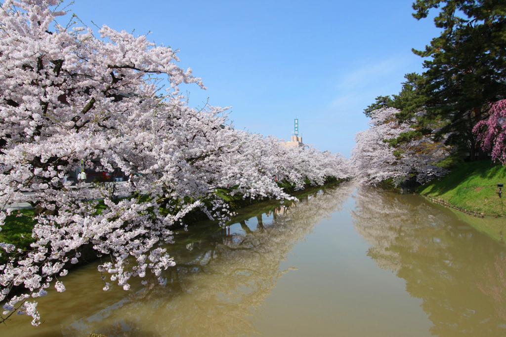 Hirosaki Park Sakura (3)