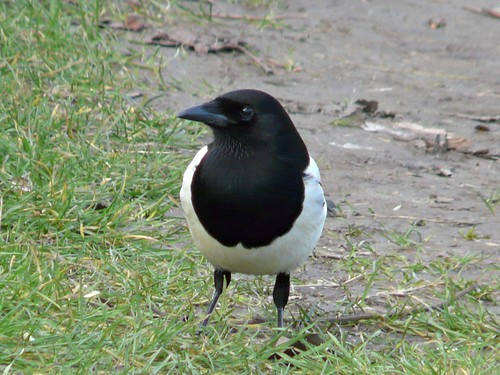 Magpie in Russia Dock Woodland