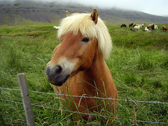 'BEAUTIFUL ICELANDIC HORSE'  -  'THE HORSES OF THE VIKINGS' (Mundilfari*) Tags: horses horse west nature beautiful animal iceland south special vikings icelandic the galope of aplusphoto eliteimages coolestphotographers