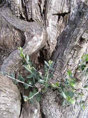 20080321 - Good Friday olive tree blogging