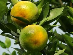 Mexiricas (Giulianna Graber) Tags: orange brasil sãopaulo sony fruta sp naranja outono lorena arancione oransje oranssi narancs mexirica dsch9 portocală
