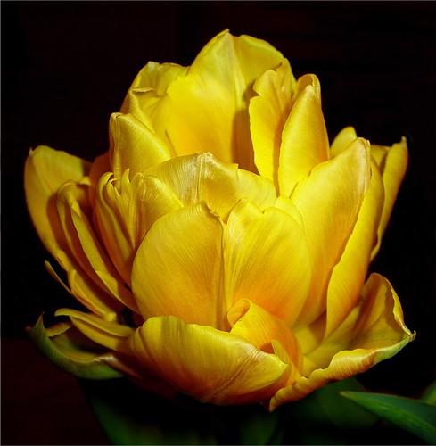 Yellow Tulip Up Close