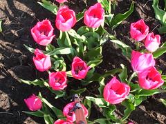 DSCN4950 (maikel.zonneveld) Tags: bollenveld bloembollen bobeldijk