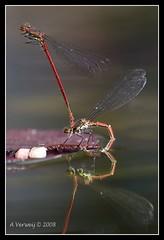 """Making Love"" (Alex Verweij) Tags: alex water rood libelle makinglove almere naturesfinest acrobatiek paren impressedbeauty aplusphoto onlythebestare canon40d flickrlovers alexverweij hoogstandje"