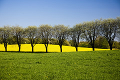 field of color (dukematthew2000) Tags: color tree nature beauty field grass lines yellow landscape geotagged gold skåne sweden rape hills third fields sverige raps rolling thirds goldenglobe blueribbonwinner canonef24105mmf4lisusm cannon5d abigfave