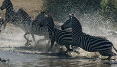 Thirsty kya! (gurbir singh brar) Tags: africa water animals nikon kenya d100 migration waterhole thirsty zebras gurbirsinghbrar