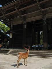 A deer admiring Nan-daimon - Southern Gate