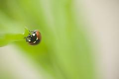 (rosemary*) Tags: red topf25 500v20f ladybug 5d 2008 tamron90