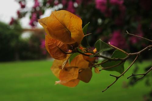 Bugambilias Amarillas