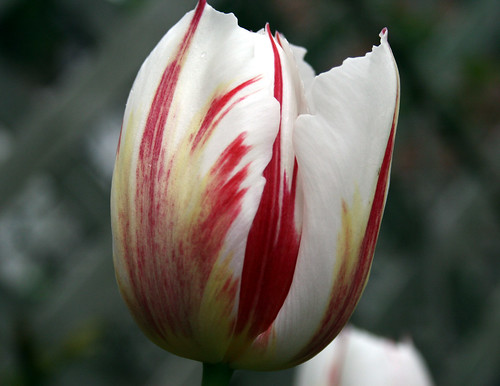 red, white and yellow tulip