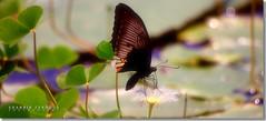 After the rain (Shabbir Ferdous) Tags: butterfly whiteflower photographer bangladeshi canoneosrebelxti shabbirferdous sigmazoomtelephoto70300mmf456apodgmacro wwwshabbirferdouscom shabbirferdouscom