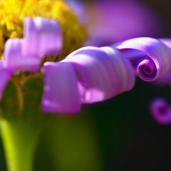 Fancy Friday... (janoid) Tags: flower bravo purple curls curly curl tttttttttttttttttt janslightstyle janalicious janoidmagic janoidsstyle xo4u asalwaysfantastic