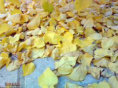 (kosar21) Tags: autumn tree yellow
