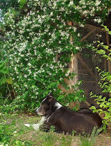 Star Jasmine (Trachelospermum jasminoides)and Max