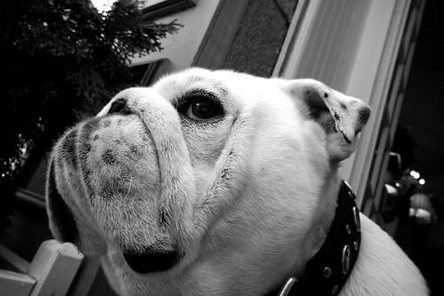 Hugo le bulldog anglais