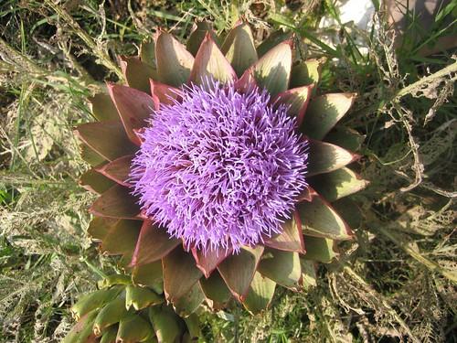 Artichoke flower6