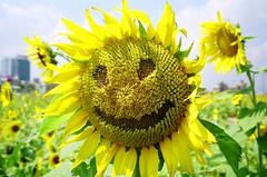Taichung_20080702_33 (Lordcolus) Tags: flowers film kodak taiwan contax negative sunflower taichung 400uc t3 台灣 contaxt3 向日葵 台中 taic