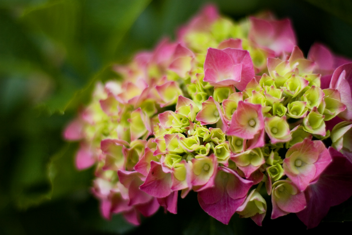 hydrangea, barely blooming