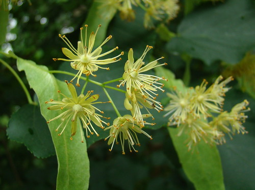 American Basswood flowers