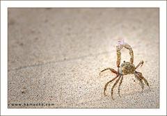 Little Crab Dance (Hamad Al-meer) Tags: sea animal canon eos dance little crab hd creatures 70200 hamad 30d aplusphoto hamadhd hamadhdcom wwwhamadhdcom