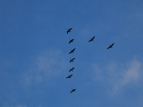 Canada geese in a flying V