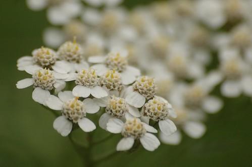 Achillea millefolium - Duizendblad. Foto: AnneTanne, Creative Commons License