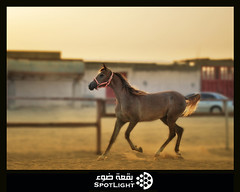!!  (A.Alwosaibie) Tags: light horse sand nikon spot saudi 1855mm ksa d60   entente            abigfave