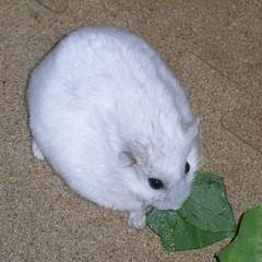 青梗菜を食べるましろ