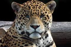 Jaguar Stare (Megan Lorenz) Tags: nature animal cat mammal outdoors feline looking wildlife watching spots spotted jaguar predator wildcat staring carnivore torontozoo wildanimals endangeredspecies blueribbonwinner anawesomeshot impressedbeauty naturallymagnificent vosplusbellesphotos awchosenone